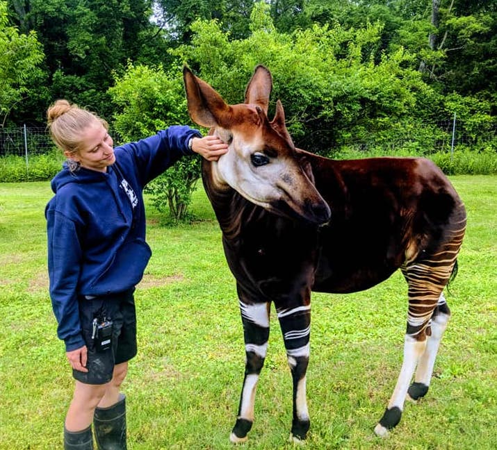 Alyssa with an okapi